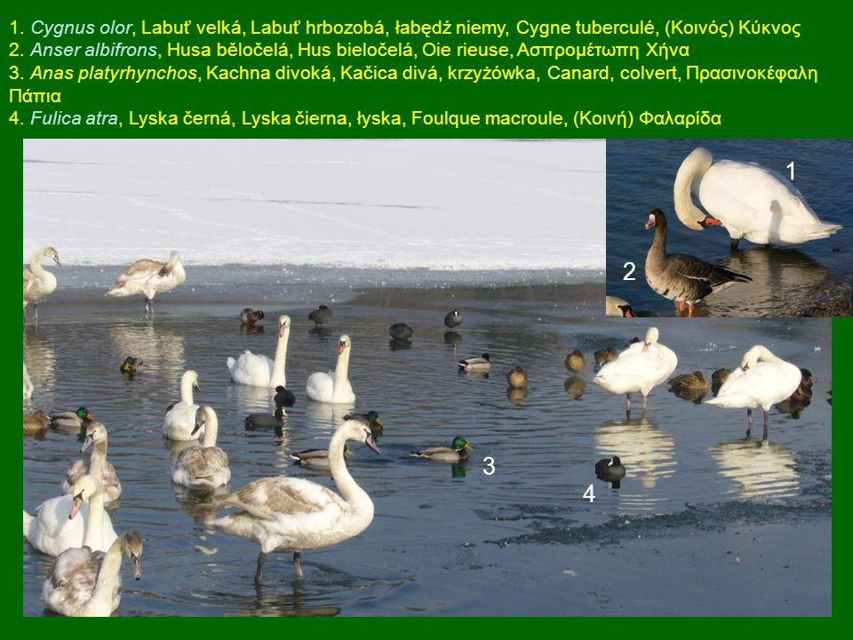 1 2 3 4 1. Cygnus olor, Labuť velká, Labuť hrbozobá, łabędź niemy, Cygne tuberculé, (Κοινός) Κύκνος 2. Anser albifrons, Husa běločelá, Hus bieločelá,