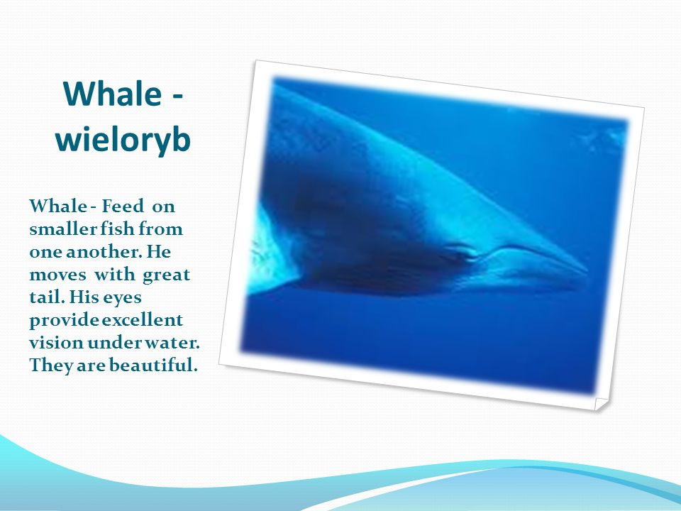 Whale - wieloryb Whale - Feed on smaller fish from one another. He moves with great tail. His eyes provide excellent vision under water. They are beau