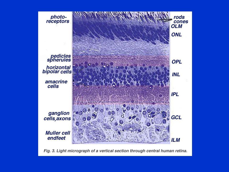 RETINAL GANGLION CELL PROJECTIONS supraoptic nucleus - diencephalon - neuroendocrine regulation paraventricular nucleus - diencephalon - neuroendocrine regulation pulvinar - diencephalon - unknown superior colliculus - mesencephalon - visuomotor behavior, foveation