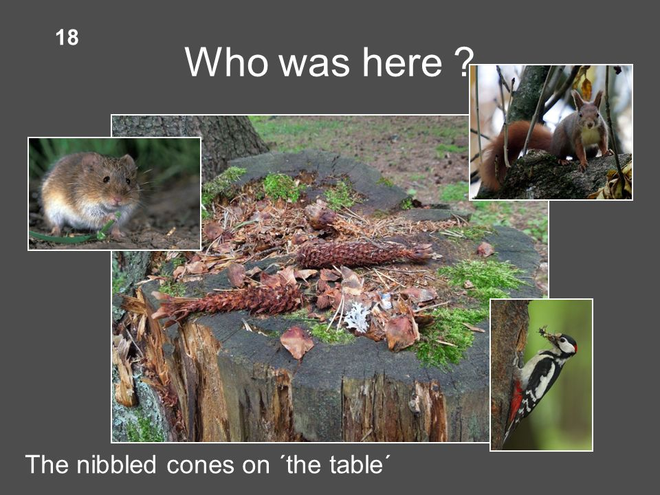 Who was here The nibbled cones on ´the table´ 18