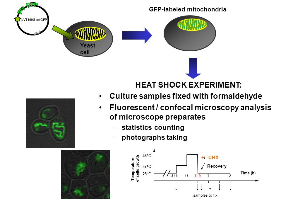 HEAT SHOCK EXPERIMENT: Culture samples fixed with formaldehyde Fluorescent / confocal microscopy analysis of microscope preparates –statistics counting –photographs taking Yeast cell pVT100U-mtGFP GFP-labeled mitochondria samples to fix Time (h) Recovery 25 o C 37 o C Temperature of cells growth 46 o C -0.500.512 +/- CHX