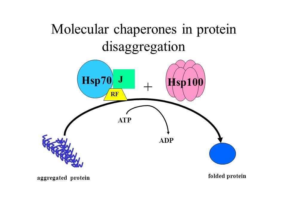 Molecular chaperones in protein disaggregation J Hsp70 RF + folded protein aggregated protein ATP ADP Hsp100