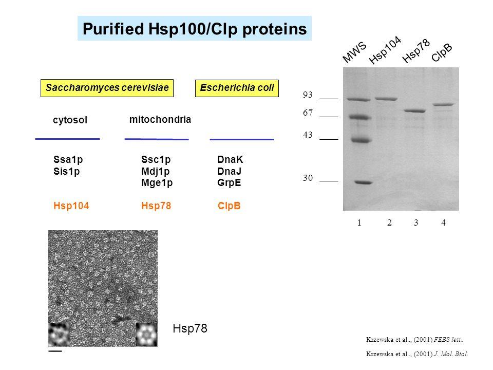 mitochondria Ssc1p DnaK Mdj1p DnaJ Mge1p GrpE Hsp78 ClpB Ssa1p Sis1p Hsp104 cytosol Saccharomyces cerevisiae Escherichia coli Purified Hsp100/Clp prot