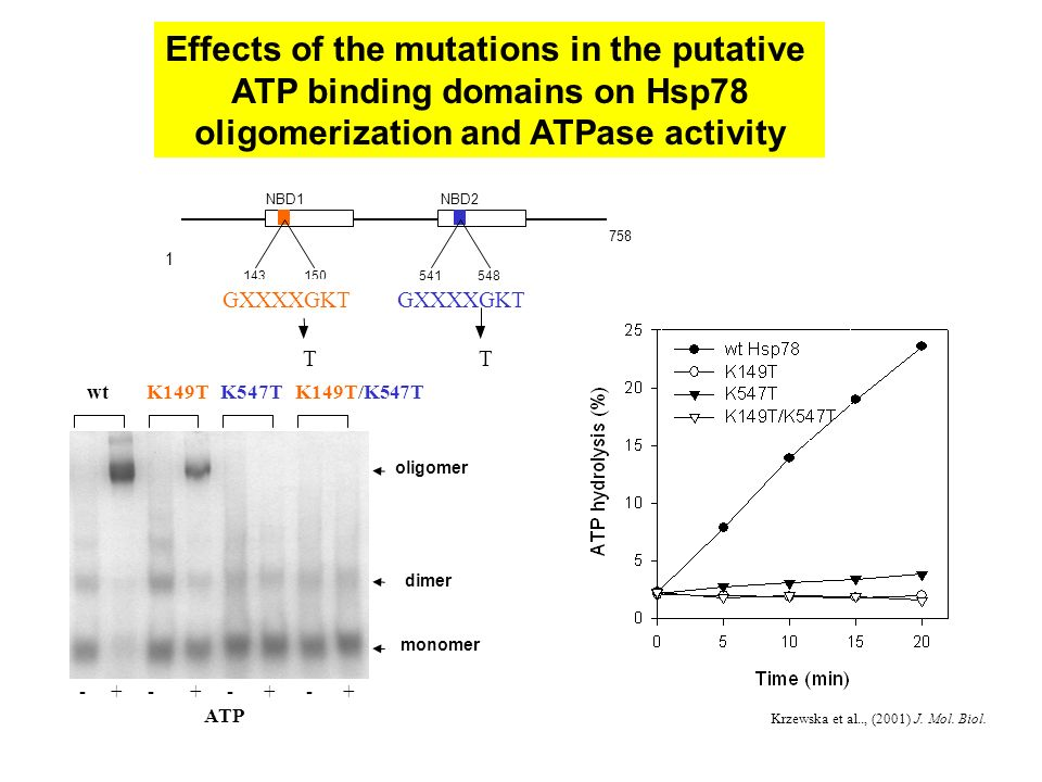 wtK149TK547TK149T/K547T monomer oligomer dimer - + - + - + - + ATP Effects of the mutations in the putative ATP binding domains on Hsp78 oligomerization and ATPase activity Krzewska et al.., (2001) J.