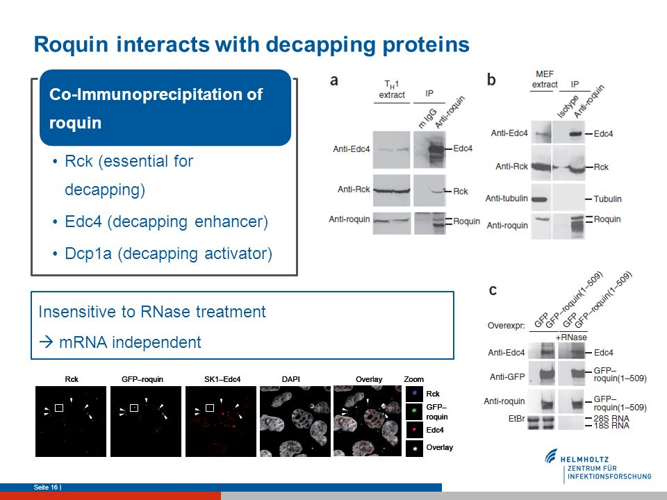 Roquin interacts with decapping proteins Seite 16 | Insensitive to RNase treatment mRNA independent Rck (essential for decapping) Edc4 (decapping enha