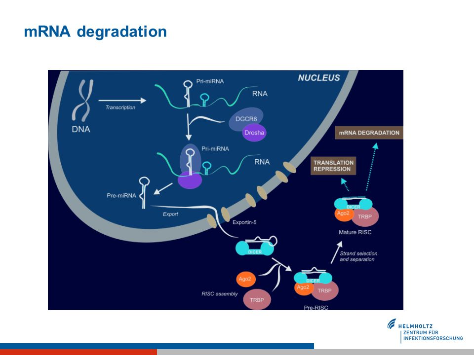 mRNA degradation