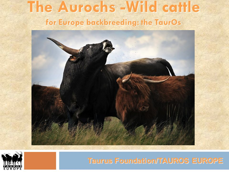 The Aurochs -Wild cattle for Europe backbreeding: the TaurOs Taurus Foundation/TAUROS EUROPE