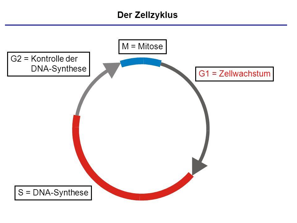 M = Mitose S = DNA-Synthese G1 = Zellwachstum Der Zellzyklus G2 = Kontrolle der DNA-Synthese