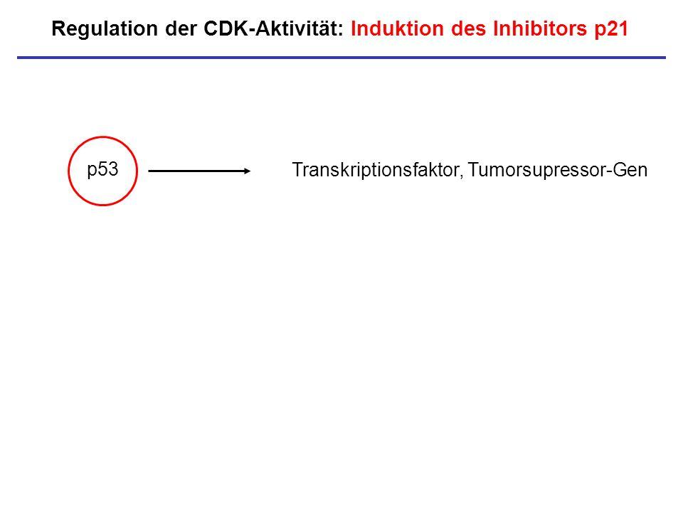 Regulation der CDK-Aktivität: Induktion des Inhibitors p21 p53 Transkriptionsfaktor, Tumorsupressor-Gen
