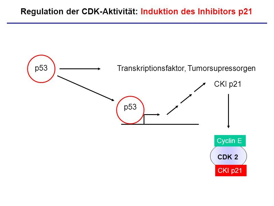Regulation der CDK-Aktivität: Induktion des Inhibitors p21 p53 CKI p21 CDK 2 Cyclin E Transkriptionsfaktor, Tumorsupressorgen CKI p21