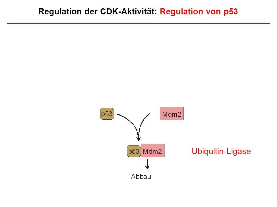 Ubiquitin-Ligase Regulation der CDK-Aktivität: Regulation von p53