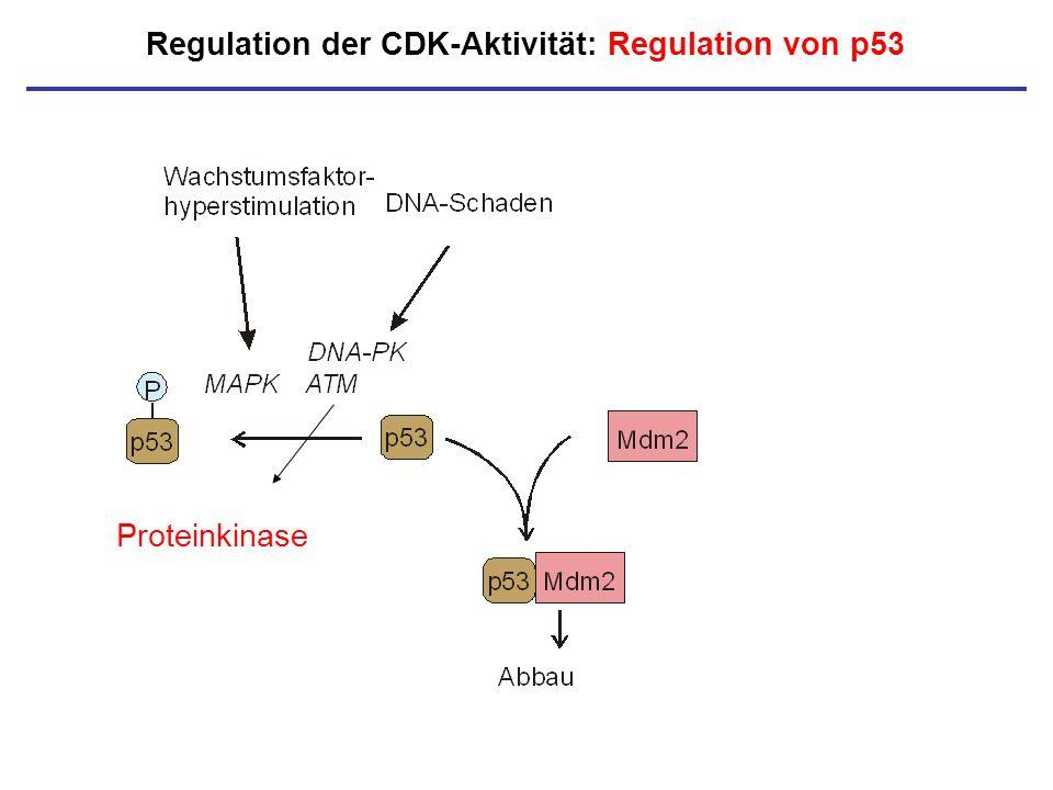 Proteinkinase Regulation der CDK-Aktivität: Regulation von p53