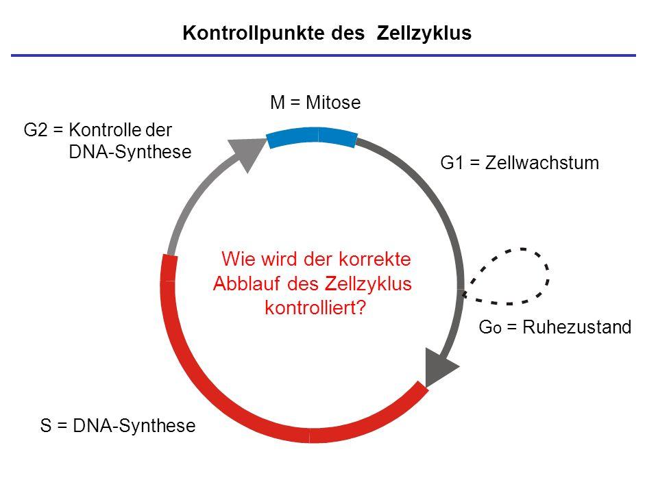 M = Mitose S = DNA-Synthese G o = Ruhezustand G1 = Zellwachstum G2 = Kontrolle der DNA-Synthese Kontrollpunkte des Zellzyklus Wie wird der korrekte Ab