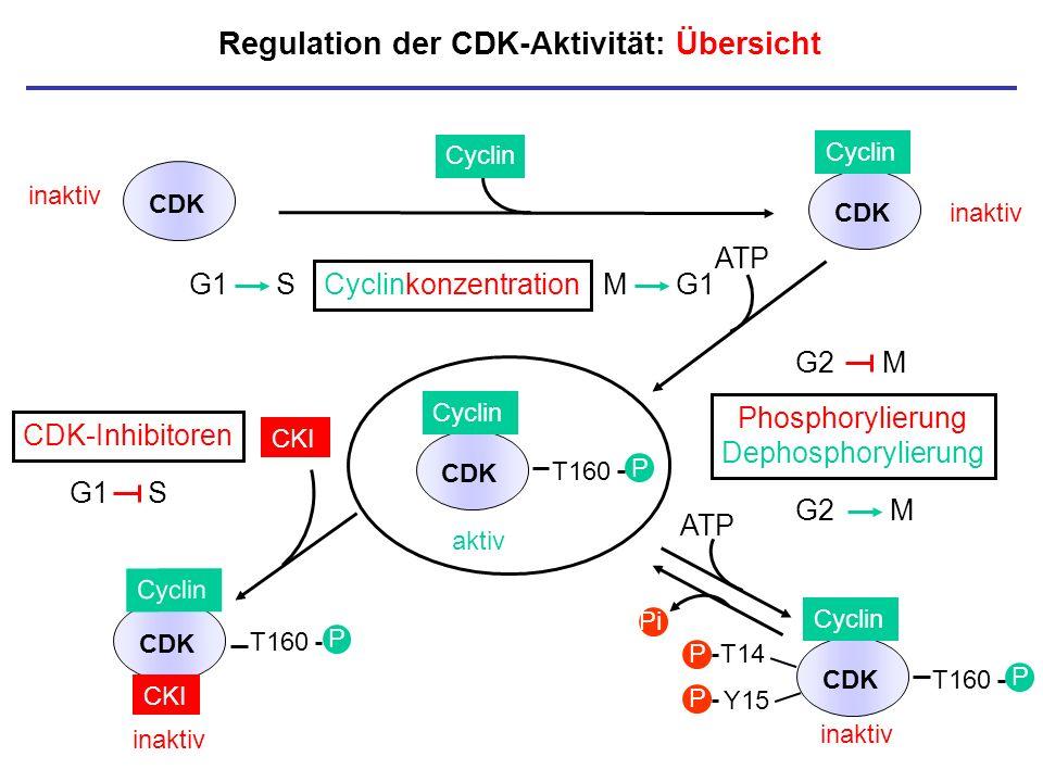 Regulation der CDK-Aktivität: Übersicht inaktiv CDK Cyclin aktiv T160 P CDK Cyclin T160 P CDK CKI CDK inaktiv Cyclin CKI P Cyclinkonzentration Phospho