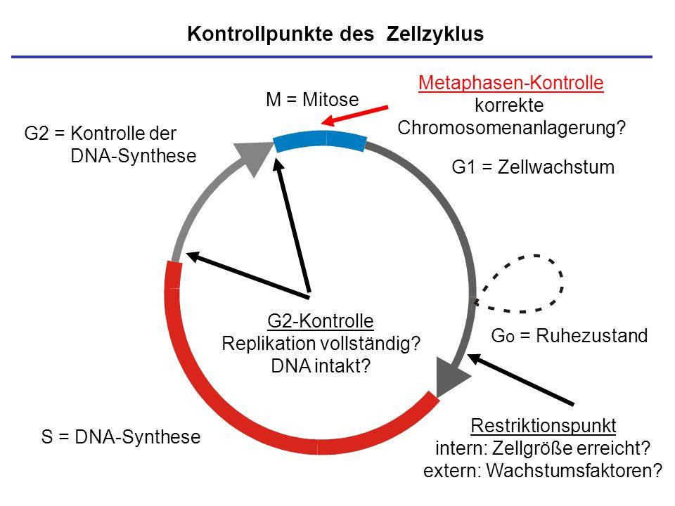 M = Mitose S = DNA-Synthese G o = Ruhezustand G1 = Zellwachstum G2 = Kontrolle der DNA-Synthese Kontrollpunkte des Zellzyklus G2-Kontrolle Replikation