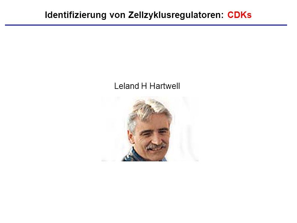 Leland H Hartwell Identifizierung von Zellzyklusregulatoren: CDKs