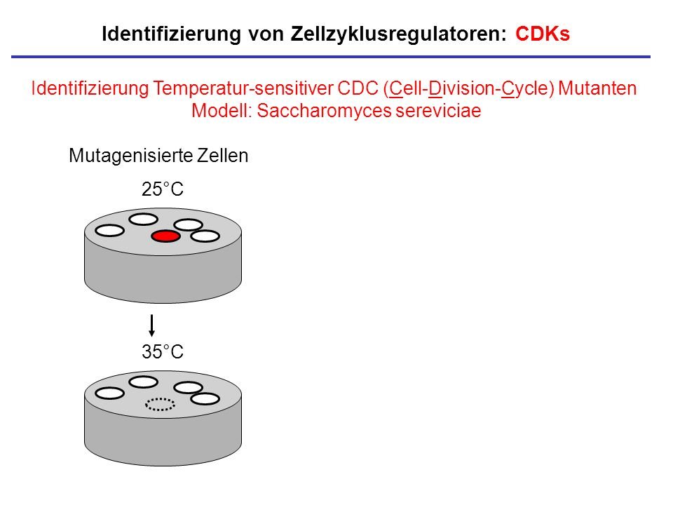 25°C 35°C Identifizierung Temperatur-sensitiver CDC (Cell-Division-Cycle) Mutanten Modell: Saccharomyces sereviciae Mutagenisierte Zellen Identifizier