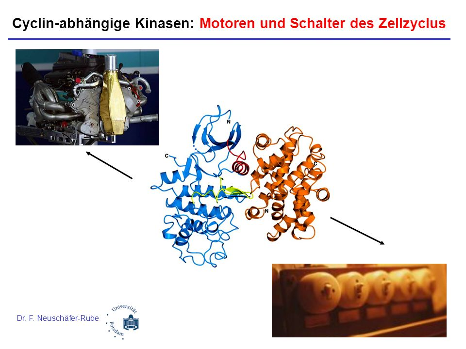 Cyclin-abhängige Kinasen: Motoren und Schalter des Zellzyclus Dr. F. Neuschäfer-Rube
