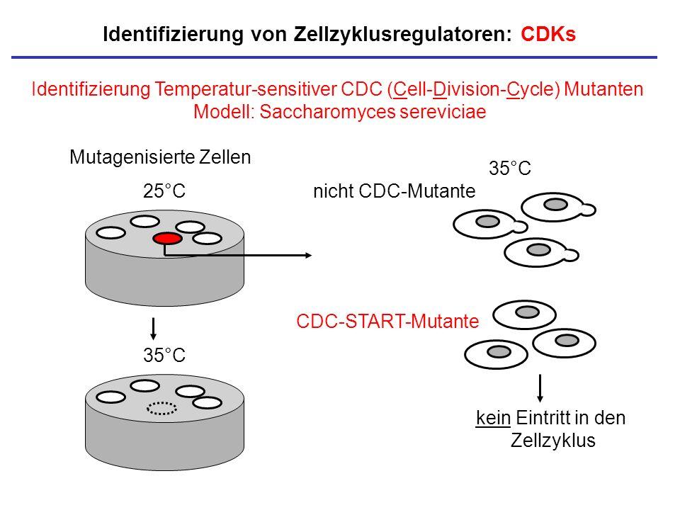 Identifizierung Temperatur-sensitiver CDC (Cell-Division-Cycle) Mutanten Modell: Saccharomyces sereviciae Identifizierung von Zellzyklusregulatoren: C