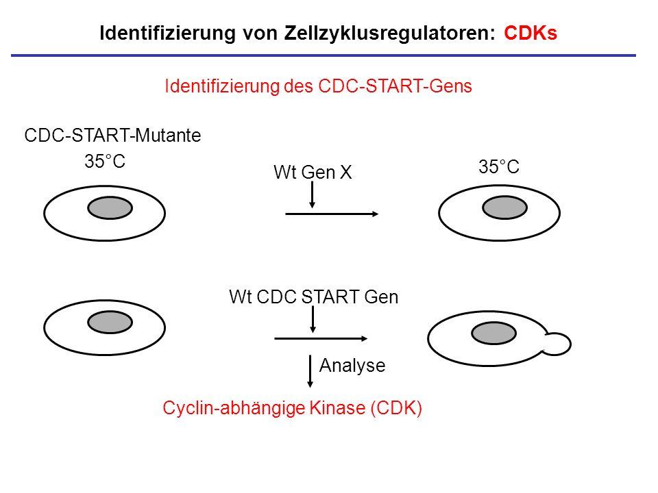 35°C Identifizierung des CDC-START-Gens Wt CDC START Gen Identifizierung von Zellzyklusregulatoren: CDKs CDC-START-Mutante Wt Gen X Cyclin-abhängige K