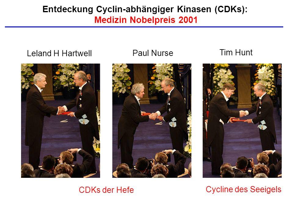 Entdeckung Cyclin-abhängiger Kinasen (CDKs): Medizin Nobelpreis 2001 Leland H Hartwell Tim Hunt Paul Nurse CDKs der Hefe Cycline des Seeigels