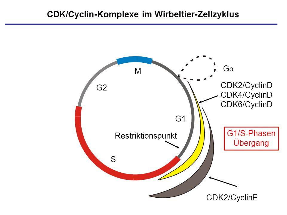 M S G1 G2 CDK/Cyclin-Komplexe im Wirbeltier-Zellzyklus Restriktionspunkt GoGo CDK2/CyclinD CDK4/CyclinD CDK6/CyclinD CDK2/CyclinE G1/S-Phasen Übergang