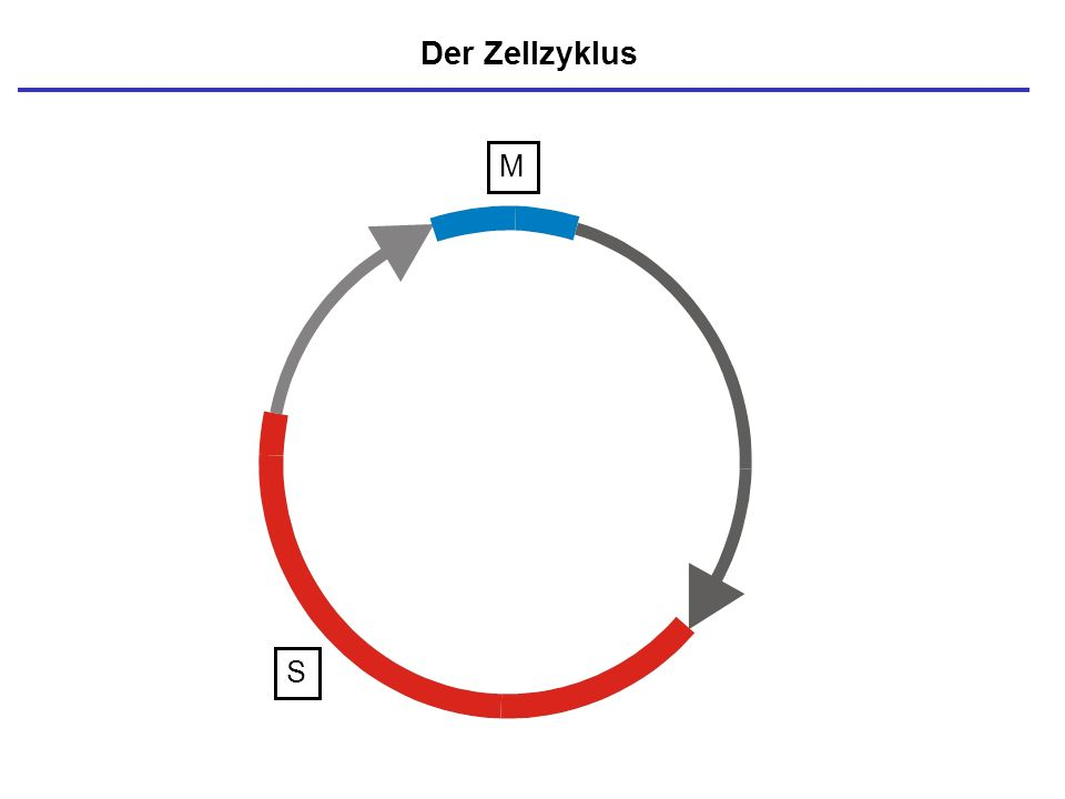 M S Der Zellzyklus