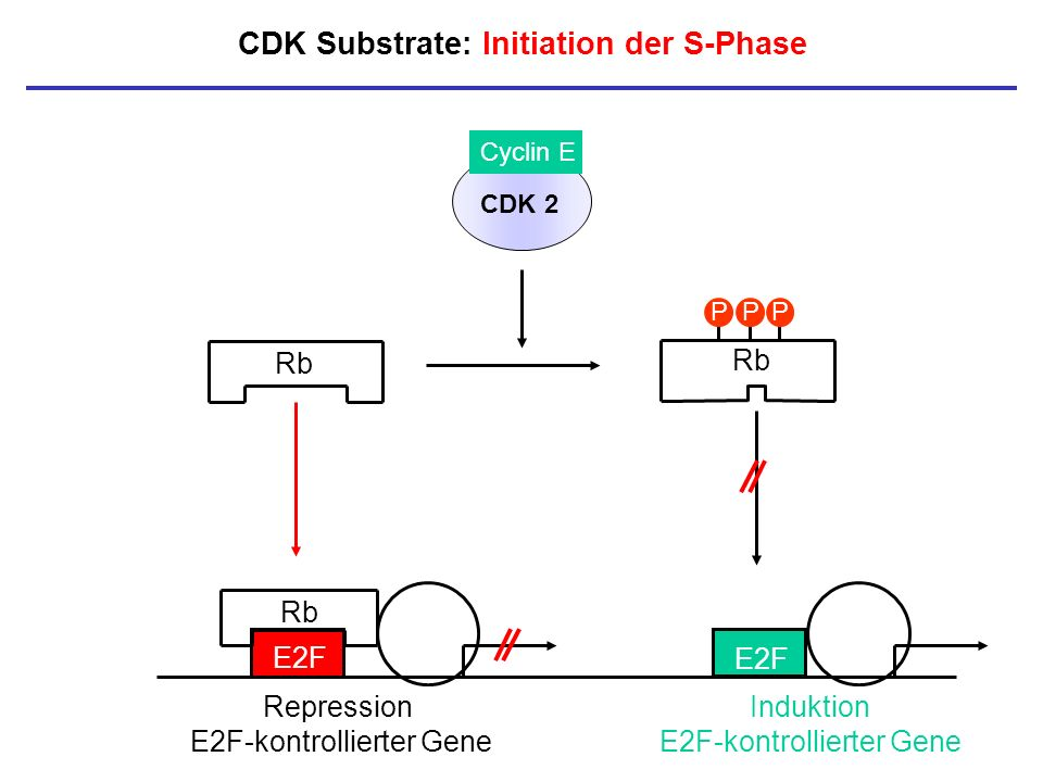 CDK Substrate: Initiation der S-Phase Rb E2F Induktion E2F-kontrollierter Gene PPP CDK 2 Cyclin E Rb E2F Rb Repression E2F-kontrollierter Gene