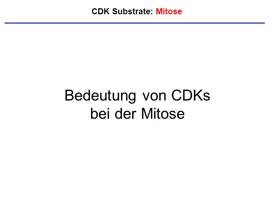 CDK Substrate: Mitose Bedeutung von CDKs bei der Mitose