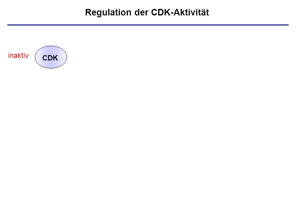 Regulation der CDK-Aktivität CDK inaktiv
