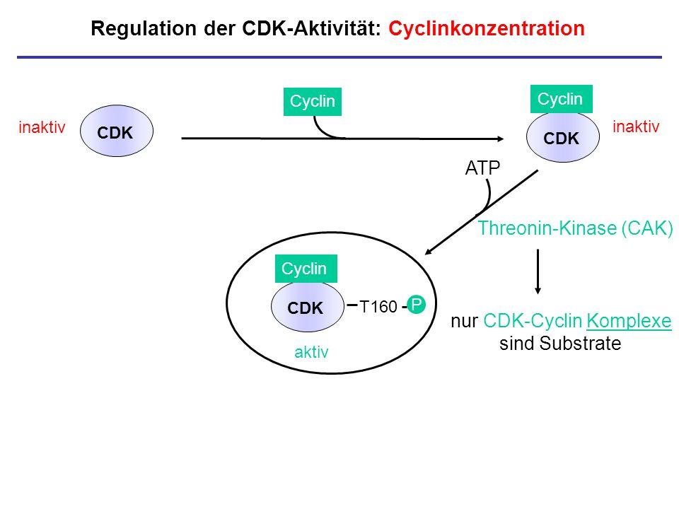 Regulation der CDK-Aktivität: Cyclinkonzentration inaktiv CDK Cyclin CDK inaktiv P nur CDK-Cyclin Komplexe sind Substrate Threonin-Kinase (CAK) aktiv