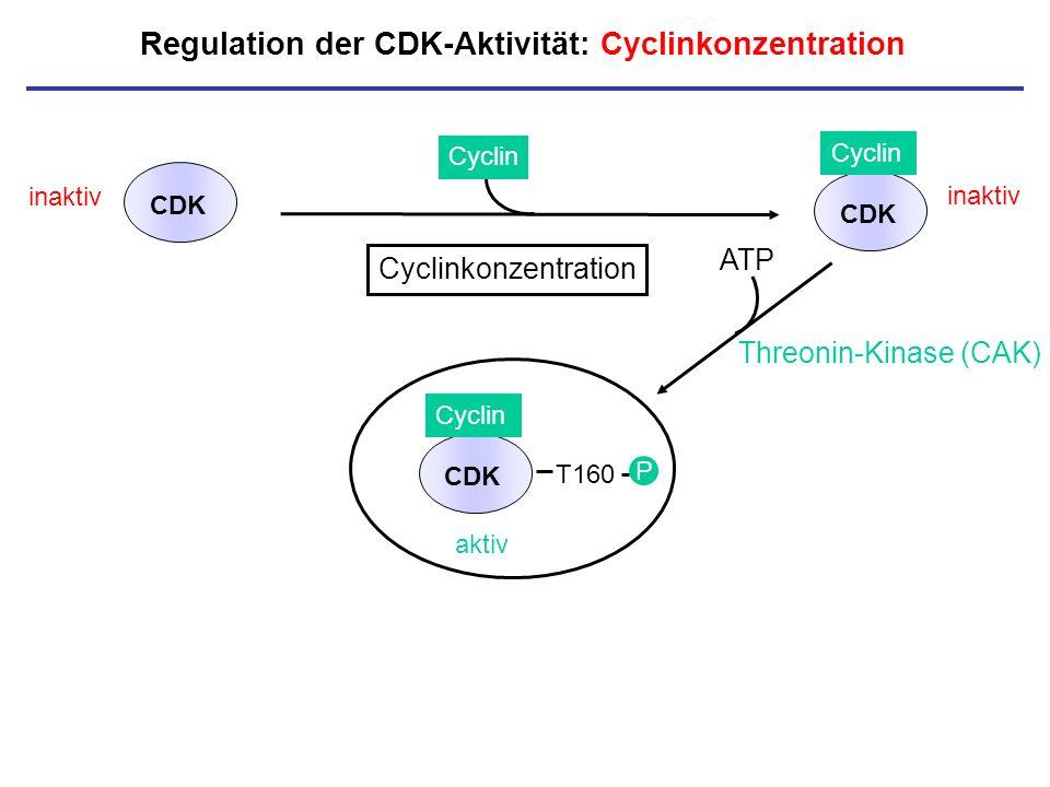 Regulation der CDK-Aktivität: Cyclinkonzentration inaktiv CDK Cyclin CDK inaktiv P Cyclinkonzentration aktiv T160 P CDK Cyclin ATP Threonin-Kinase (CA
