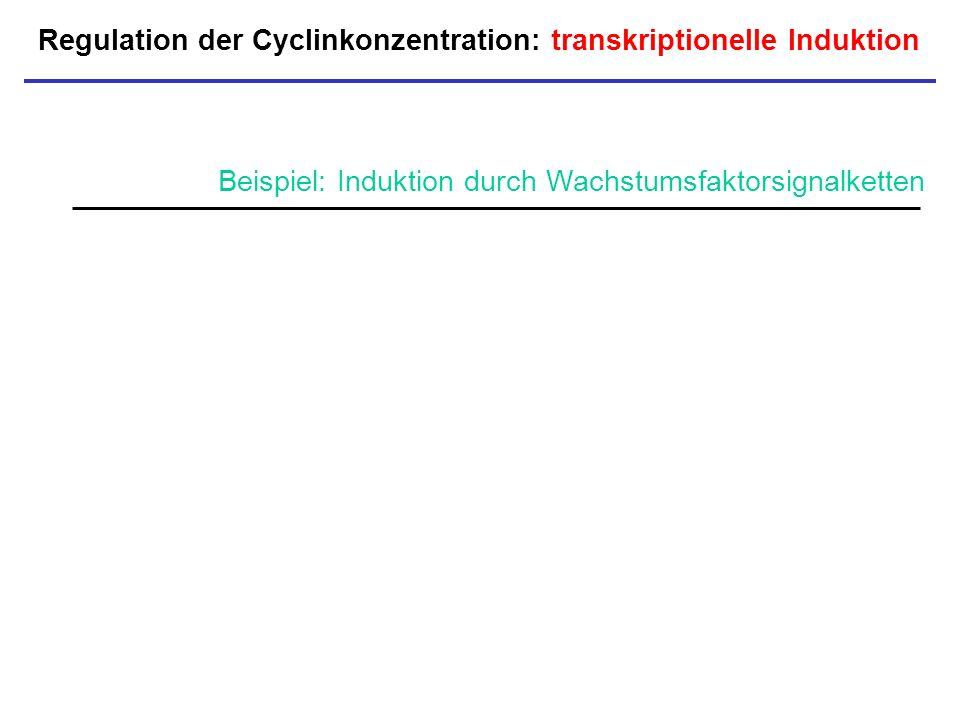 Regulation der Cyclinkonzentration: transkriptionelle Induktion P Beispiel: Induktion durch Wachstumsfaktorsignalketten