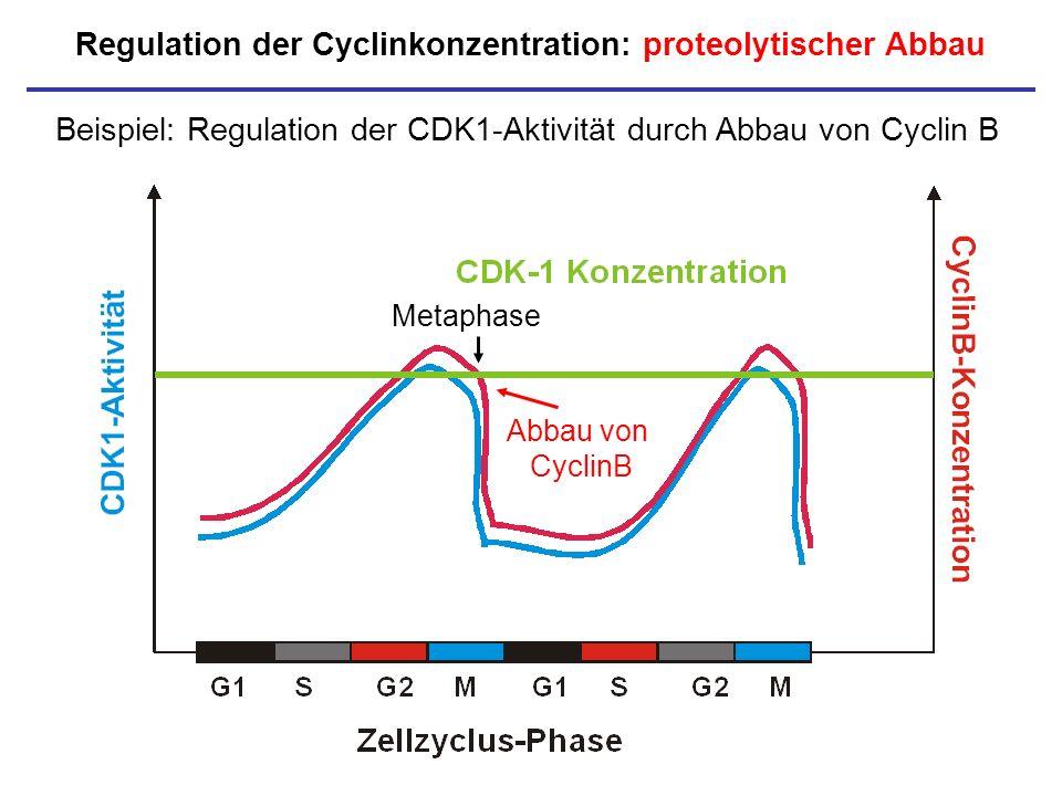 Regulation der Cyclinkonzentration: proteolytischer Abbau Beispiel: Regulation der CDK1-Aktivität durch Abbau von Cyclin B Abbau von CyclinB Metaphase