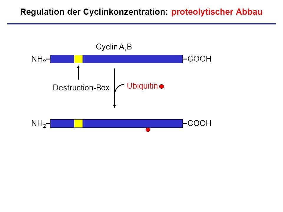 Regulation der Cyclinkonzentration: proteolytischer Abbau NH 2 COOH Cyclin A,B Destruction-Box NH 2 COOH Ubiquitin