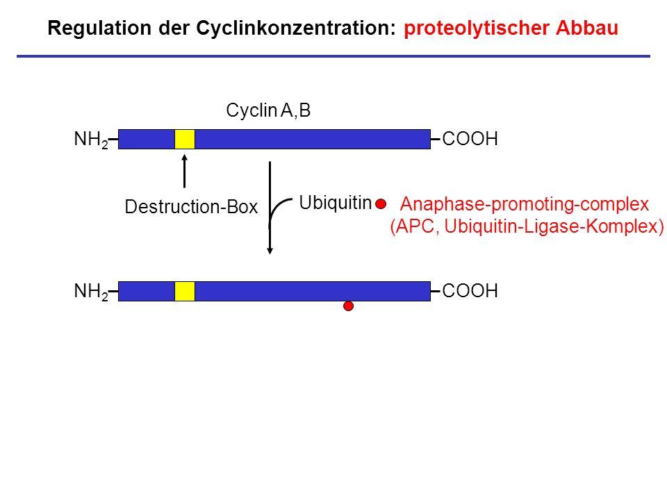 Regulation der Cyclinkonzentration: proteolytischer Abbau NH 2 COOH Cyclin A,B Destruction-Box NH 2 COOH Ubiquitin Anaphase-promoting-complex (APC, Ub