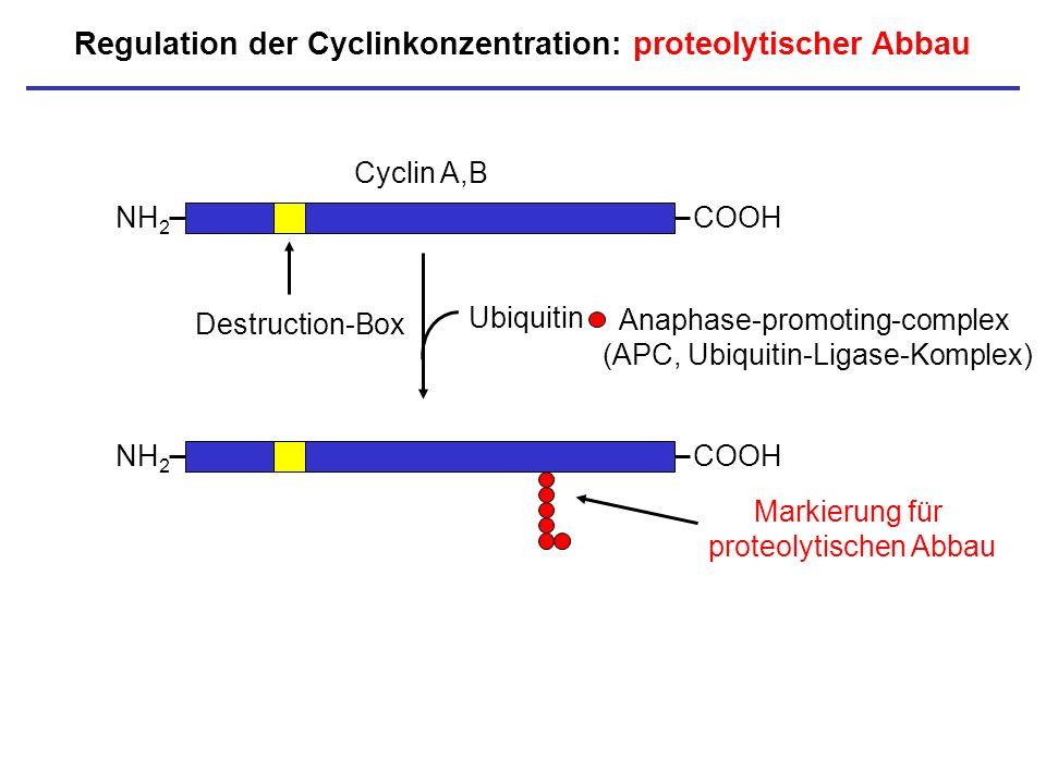Regulation der Cyclinkonzentration: proteolytischer Abbau NH 2 COOH Cyclin A,B Destruction-Box NH 2 COOH Ubiquitin Markierung für proteolytischen Abba