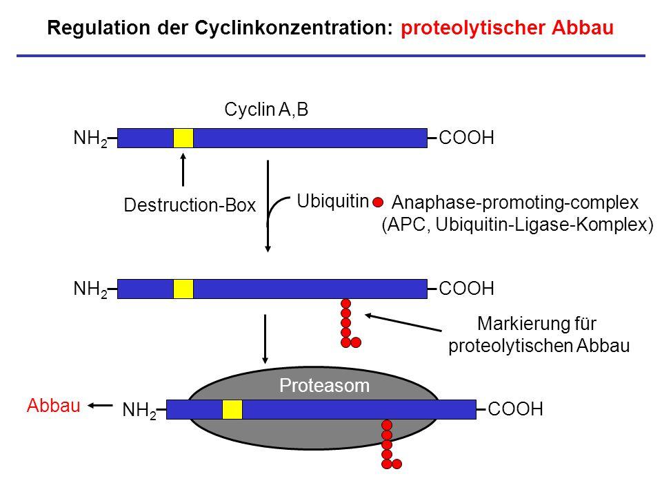 Regulation der Cyclinkonzentration: proteolytischer Abbau NH 2 COOH Proteasom Abbau NH 2 COOH Cyclin A,B Destruction-Box NH 2 COOH Ubiquitin Markierun