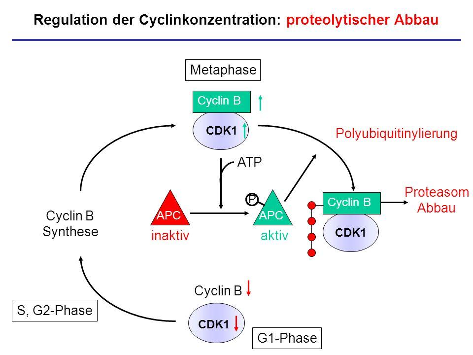Regulation der Cyclinkonzentration: proteolytischer Abbau CDK1 Cyclin B CDK1 Cyclin B Synthese P Polyubiquitinylierung Metaphase Cyclin B APC P inakti
