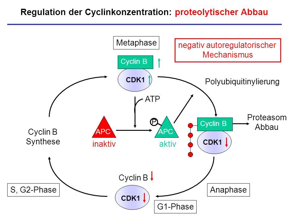 Regulation der Cyclinkonzentration: proteolytischer Abbau CDK1 Cyclin B CDK1 Cyclin B Synthese P Polyubiquitinylierung Metaphase Anaphase Cyclin B APC