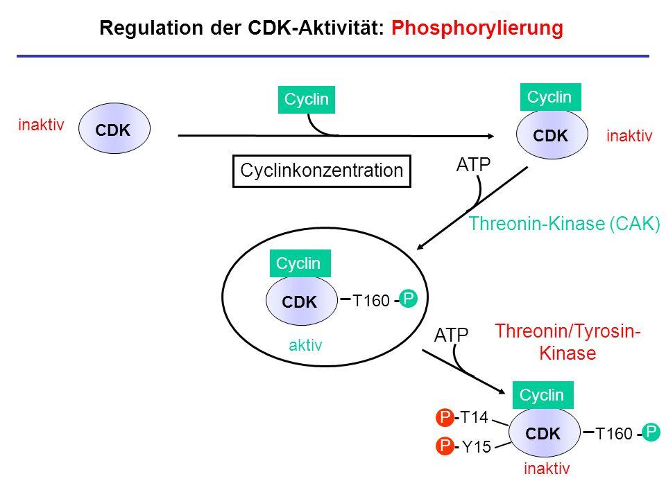 Regulation der CDK-Aktivität: Phosphorylierung inaktiv CDK Cyclin aktiv T160 P CDK Cyclin CDK Cyclin CDK T14 Y15 P P inaktiv P T160 P Threonin/Tyrosin