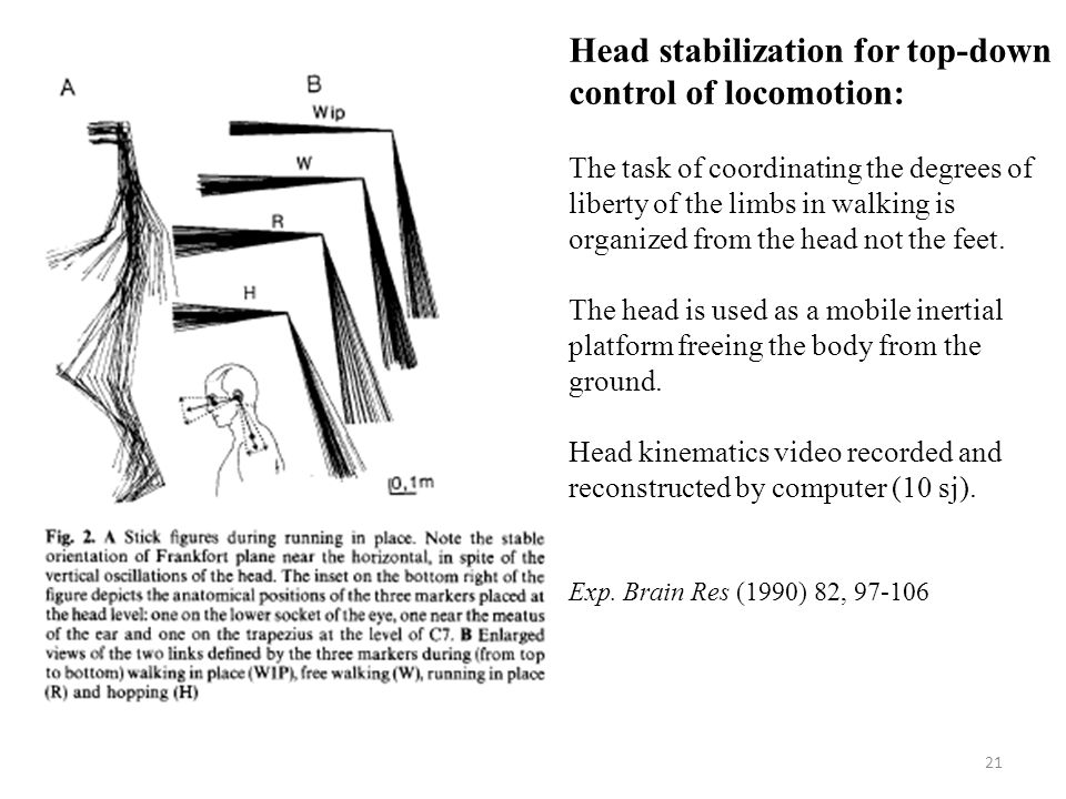 21 Head stabilization for top-down control of locomotion: The task of coordinating the degrees of liberty of the limbs in walking is organized from the head not the feet.