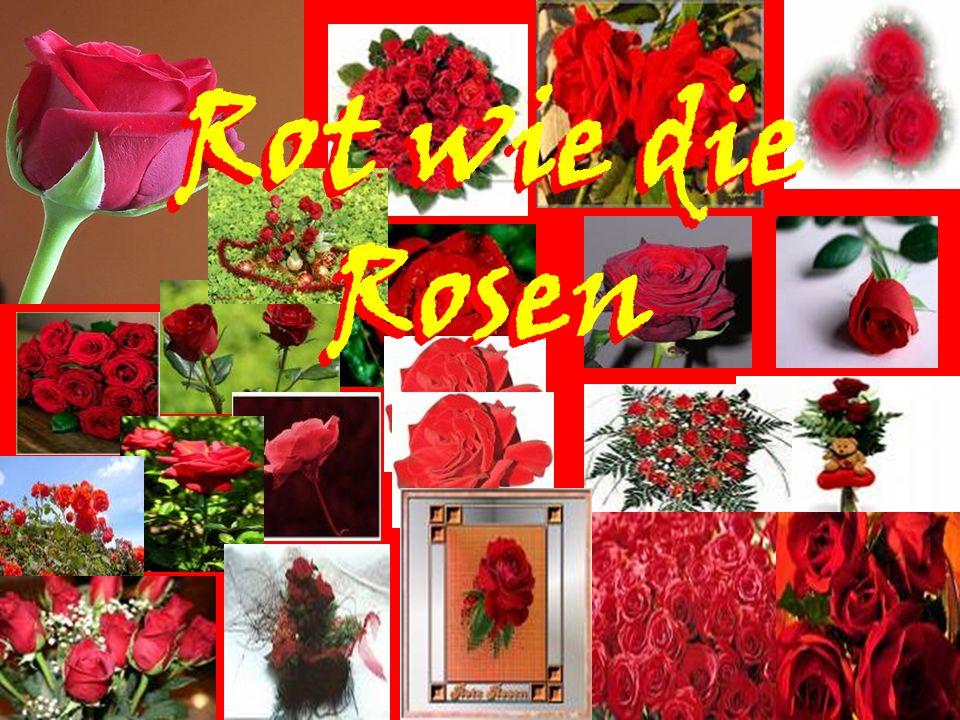 Rot wie die Rosen