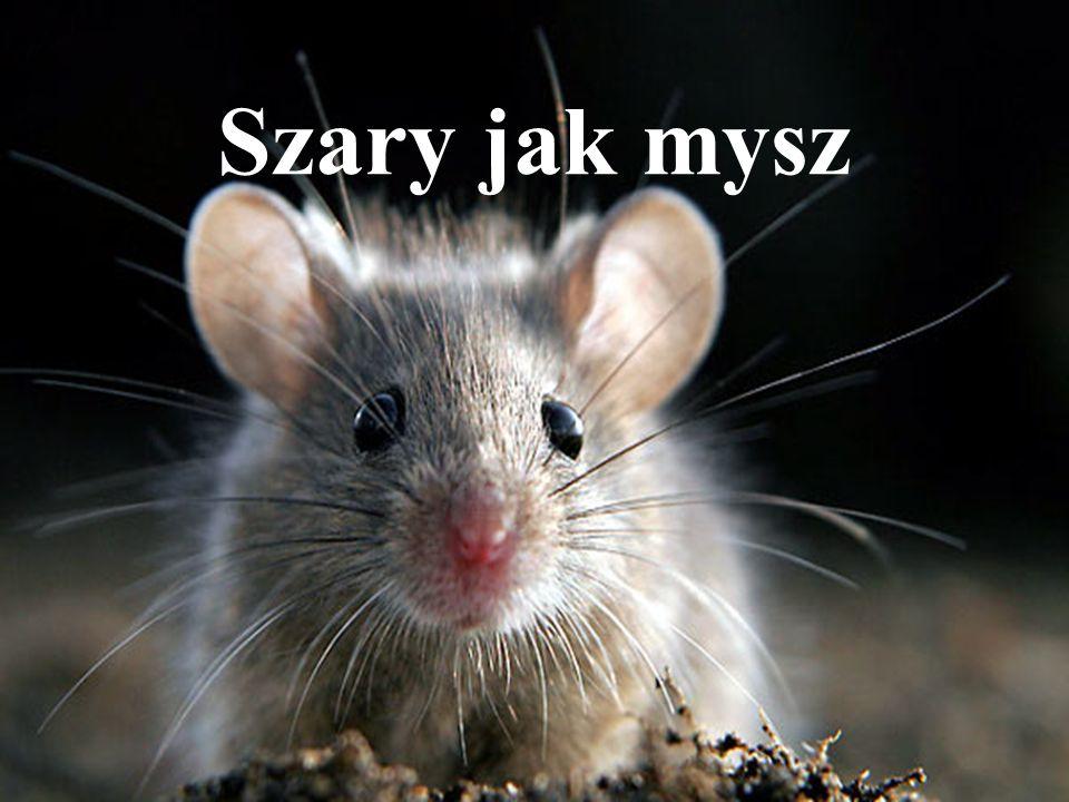 Szary jak mysz