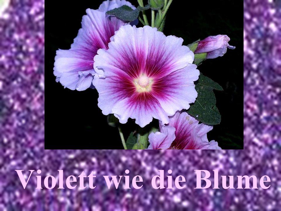 Violett wie die Blume