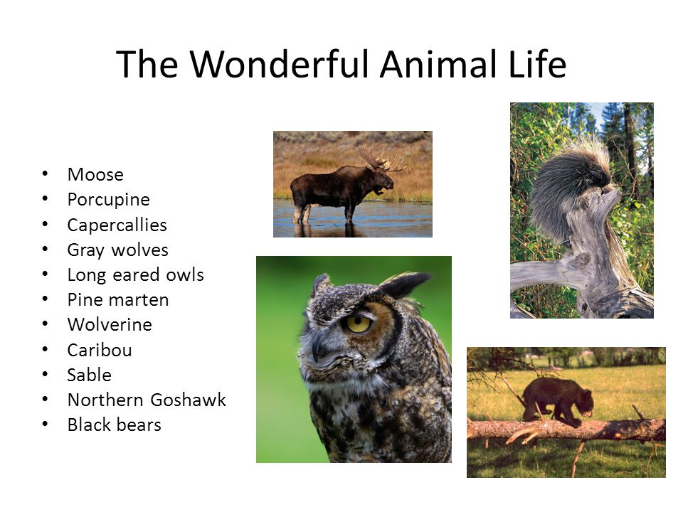 The Wonderful Animal Life Moose Porcupine Capercallies Gray wolves Long eared owls Pine marten Wolverine Caribou Sable Northern Goshawk Black bears