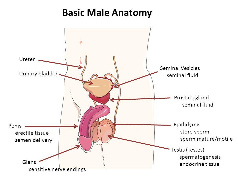 penis nerve endings