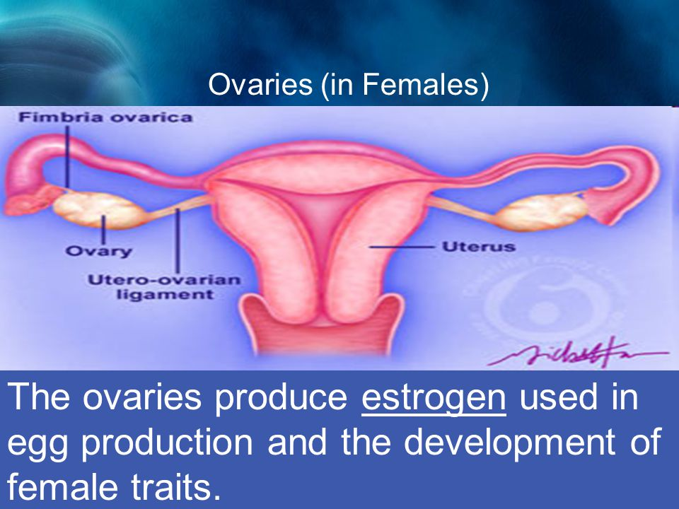Ovaries (in Females) Ovaries The ovaries produce estrogen used in egg production and the development of female traits.
