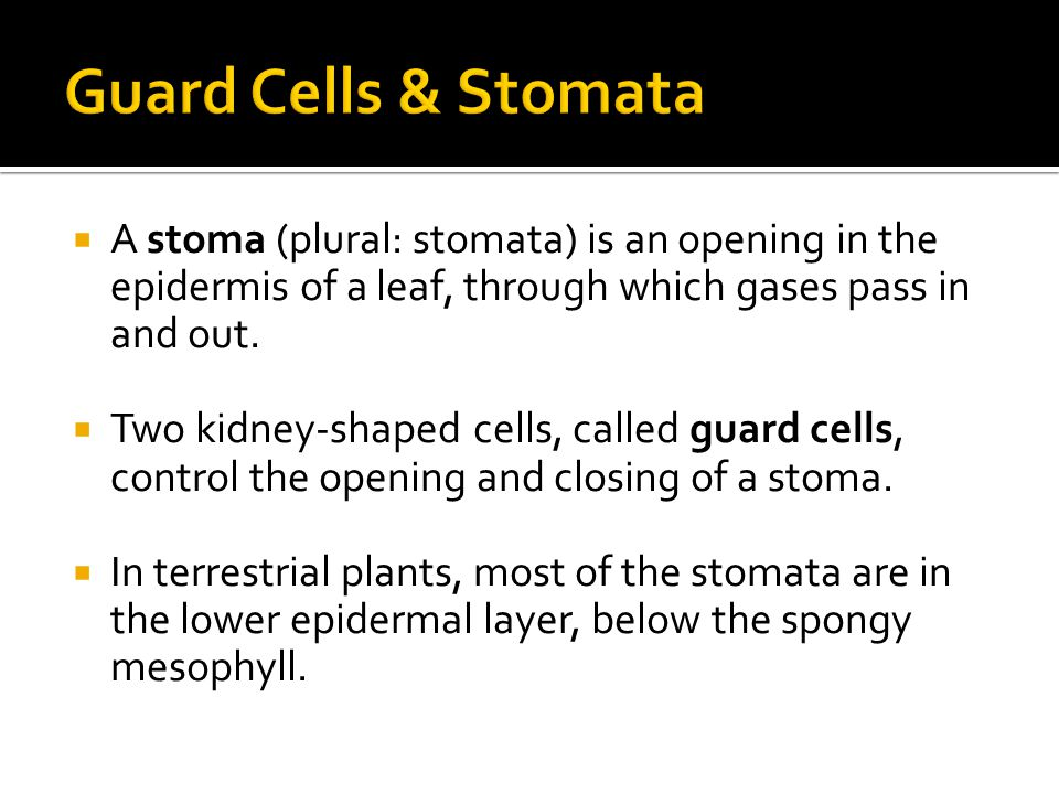  A stoma (plural: stomata) is an opening in the epidermis of a leaf, through which gases pass in and out.