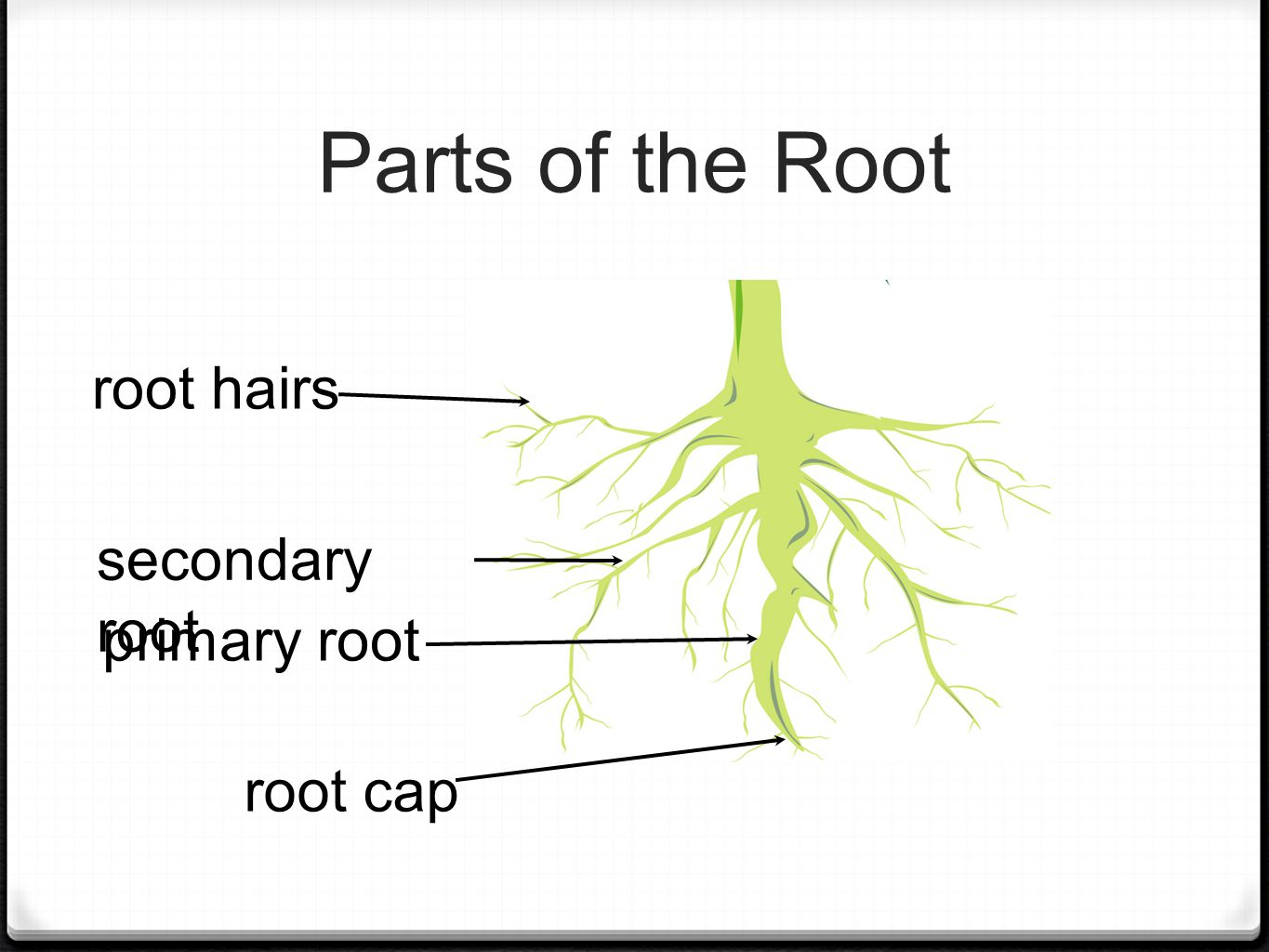 Parts of the Root primary root secondary root root cap root hairs